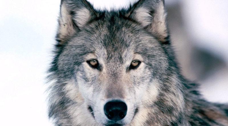 С начала года отстрелили трёх волков